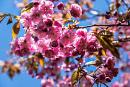 Cherry blossoms at Kariya Park in Mississauga are about to bloom and you can see them
